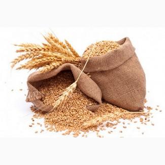 Пшениця. Куплю пшеницю. Кропивницький і область