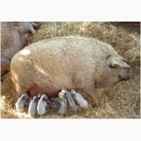 ПРОДАМ Свиноматка и Кнур Венгерская мангалица