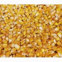 Продам кукурузу 50т