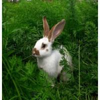 Кролики, кролі - тушками та живою вагою продам (оптом і в роздріб)