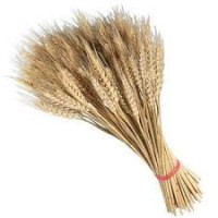 Куплю пшеницу оптом. Качество ГОСТ (ДСТУ)