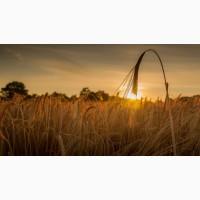 Покупаем пшеницу оптом.Урожай 2019
