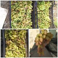 Продам виноград Преображение, Ливия