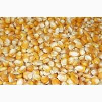 Куплю кукурудзу у виробників. Будь-який об#039;єм. Самовивіз