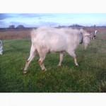 Козье мясо полудиких коз-самое органическое и лечебное в Украине