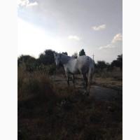 Продається молода кобила