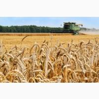 Покупаем пшеницу продовольственную и фуражную