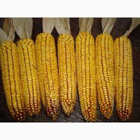 Куплю кукурузу в кочанах