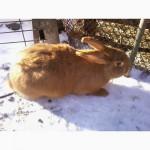 Кролики порід: Панон, Каліфорнійський, НЗЧ