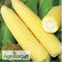 Кукуруза сахарная свежая в початках.