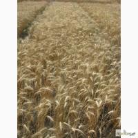 Семена пшеницы озимой - сорт Спасовка. 1 репродукция