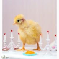 Утята, гусята, цыплята