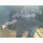 Продам племенных породистых мясных поросят