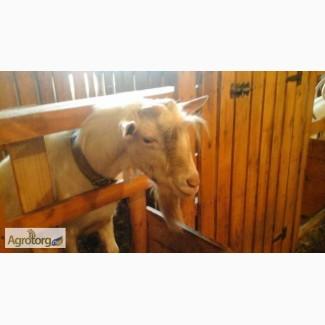 Племенной зааненский козел на случку