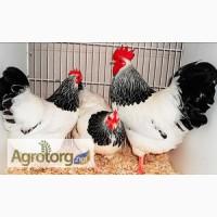 Кури несушки, курі 10-місячні, куры мясо-яичная порода