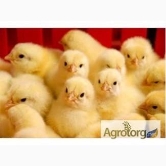 Продам яйцо инкубационное-цыплята суточные КоББ-500(бройлер)