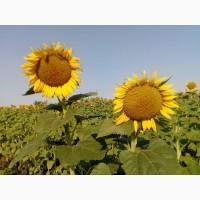Семена подсолнечника Заграва ВНИС