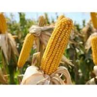 Семена кукурузы Любава 279МВ