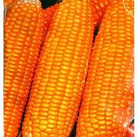 Днепровский 257 семена кукурузы, устойчивый к болезням гибрид