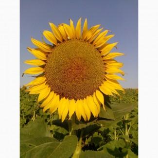 Семена подсолнечника Донат Солар Сидс (под Евро-Лайтинг)