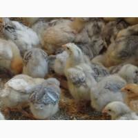 Яйцо инкубационное, купить яйцо инкубационное мясо-яичных кур