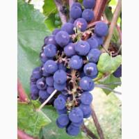 Продам виноград кудрик