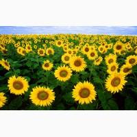 Продам насіння кукурузи Піонер Pioneer Сенгента Syngenta Монсанто Monsanto Евралис Euralis