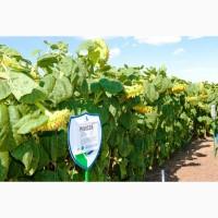 Семена подсолнечника Римисол, Флорими под Эвролайтинг лидерыурожая 2019