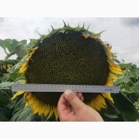 Компанія ГРАН реалізує посівний матеріал соняшнику ГРАНД АДМІРАЛ (105-110 дн.)