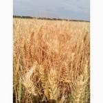 Пшеница озимая Миссия Одесская - Місія Одеська