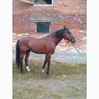 Продам коня лошадь орловський рисак