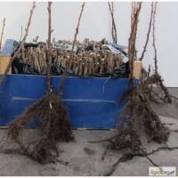 Вкорінені живці чорної смородини