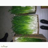 Продам Лук зелёный(перо)