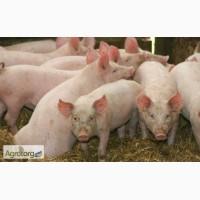 Продам поросят мясных пород