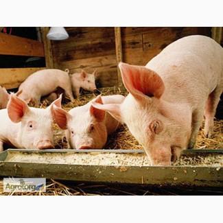 Комбикорм для свиней К -55 (откорм)