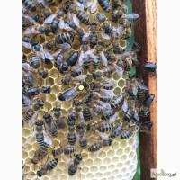 Бджоломатка Карпатка 2017 року виводу ПЛІДНІ МАТКИ (Пчеломатка, бджолині матки)