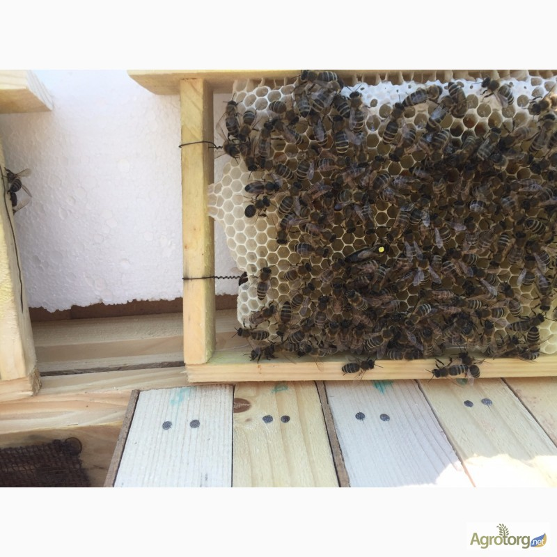 Фото 2. Бджоломатка Карпатка 2020 року ПЛІДНІ МАТКИ (Пчеломатка, пчелинные матки, плодные матки)