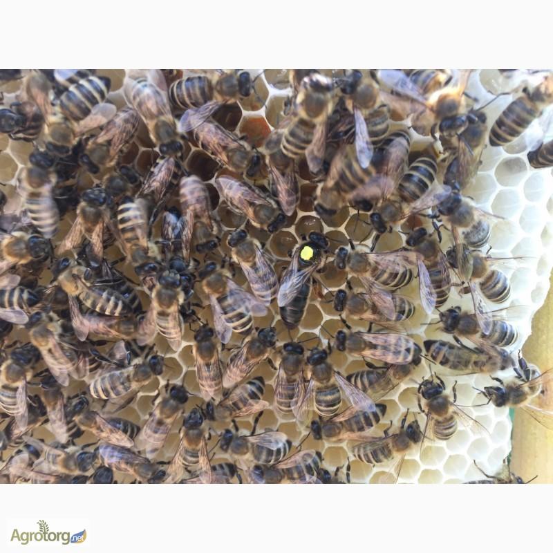 Фото 3. Бджоломатка Карпатка 2019 року виводу ПЛІДНІ МАТКИ (Пчеломатка, бджолині матки)