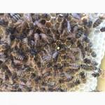 Бджоломатка Карпатка 2018 року виводу ПЛІДНІ МАТКИ (Пчеломатка, бджолині матки)