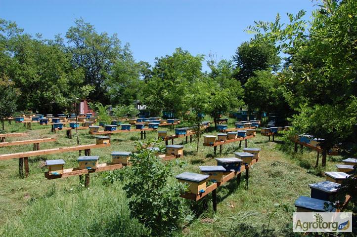 Фото 4. Бджоломатка Карпатка 2020 року ПЛІДНІ МАТКИ (Пчеломатка, пчелинные матки, плодные матки)