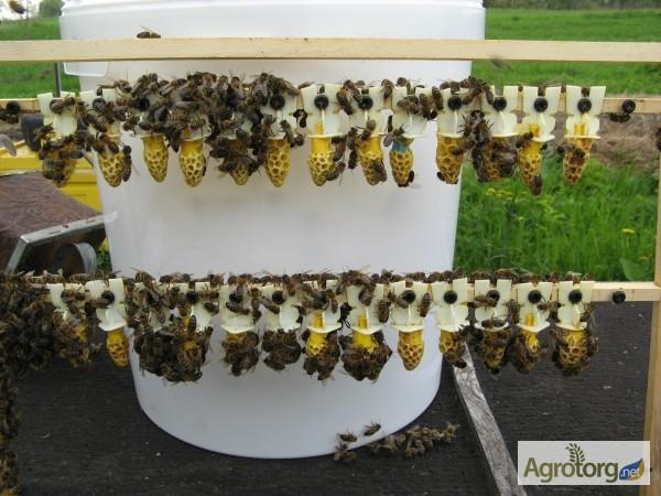 Фото 5. Бджоломатка Карпатка 2019 року виводу ПЛІДНІ МАТКИ (Пчеломатка, бджолині матки)