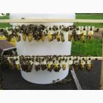 Бджоломатка Карпатка 2020 року ПЛІДНІ МАТКИ (Пчеломатка, пчелинные матки, плодные матки)