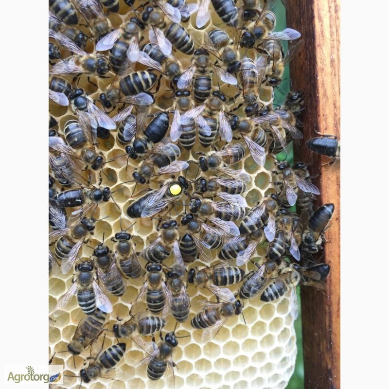 Фото 8. Бджоломатка Карпатка 2019 року виводу ПЛІДНІ МАТКИ (Пчеломатка, бджолині матки)