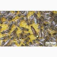 Бджоломатки породи країнка