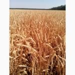 Безостая пшеница озимая Литановка