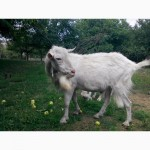 Продам зааненского козла