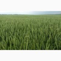 Сорт озимої м#039;якої пшениці Скаген, 1 репр