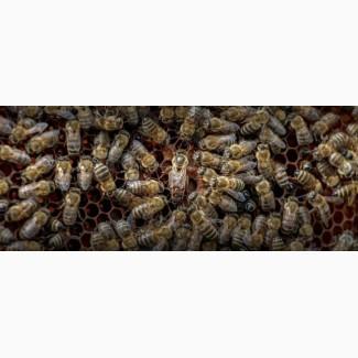 Продам.пчеломаток карника