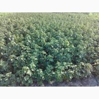 Саженцы смородины черной только отборные, качество и сохранность сорта 100%