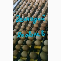 Продаем яйцо куриное С1. На экспорт Export eggs